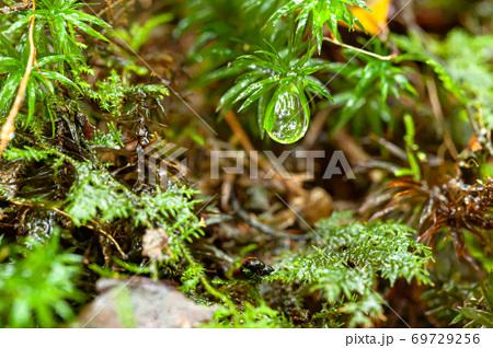 初夏の美しい緑に映える苔と水滴から環境・エコ・水のイメージ表現 69729256