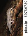 生き物 昆虫 シロシタケンモン、開帳五センチ程。横から見ると大きな眼が目立ちます 69730780