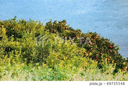 瀬戸内海のみかんの島の段々畑風景です。急斜面にミカンが見えます。広島県 69735548