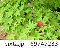 自然 緑 モミジ 赤い 葉 69747233
