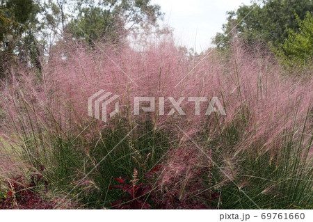 きれいなピンクの花序を付けたミューレンベルギア 69761660