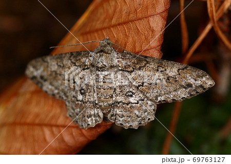 生き物 昆虫 ヨモギエダシャク、地味系のシャクガ。翅の模様はアジアンテイストのバティックの様です 69763127