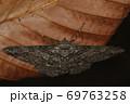 生き物 昆虫 ヨモギエダシャク、名前はヨモギですが幼虫は多食。針葉樹以外、植物なら何でも食べそう? 69763258