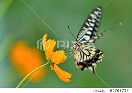 キバナコスモスの蜜を吸うアゲハチョウ 69763737