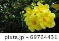 【熱帯植物】黄色のアリアケカズラの花 69764431