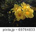 【熱帯植物】黄色のアリアケカズラの花 69764833
