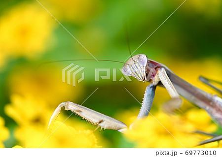 花とカマキリ 69773010
