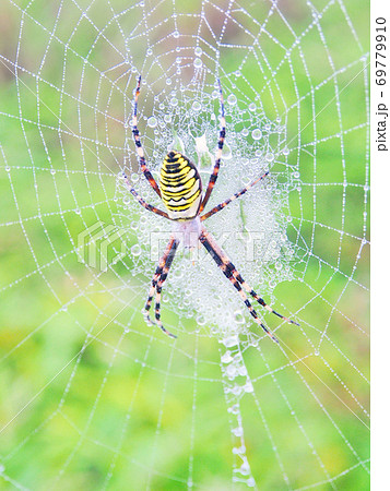 雨あがりのクモの巣 ナガコガネグモ 69779910