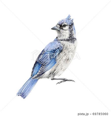 Blue jay bird watercolor illustration.  69785060