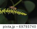 生き物 昆虫 キゴシハナアブ、胸は縦筋腹は横帯で眼は胡麻塩。忙しい模様のハナアブです 69793740
