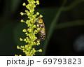 生き物 昆虫 キゴシハナアブ、七月。ナンキンハゼの花で。複眼が離れているのはメスです 69793823