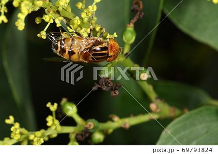 生き物 昆虫 キゴシハナアブ、大きさは一センチ前後。複眼がくっついているのはオスです 69793824
