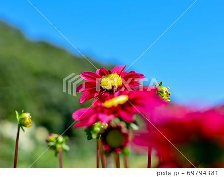 青空バックに咲く満開の赤紫のダリア 69794381
