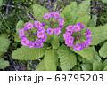 クリンソウ(北海道・白糠町) 69795203