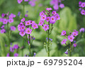 クリンソウ(北海道・白糠町) 69795204