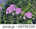 キタノコギリソウ(北海道・小清水町) 69795206