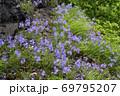 キクバクワガタの群落(北海道・知床) 69795207