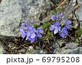 キクバクワガタ(北海道・知床) 69795208