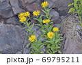 カセンソウ(北海道・知床) 69795211