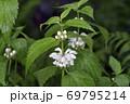 オドリコソウ(北海道・知床) 69795214