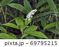 オカトラノオ(北海道・鶴居村) 69795215