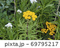 エゾノヨモギギク(北海道・知床) 69795217