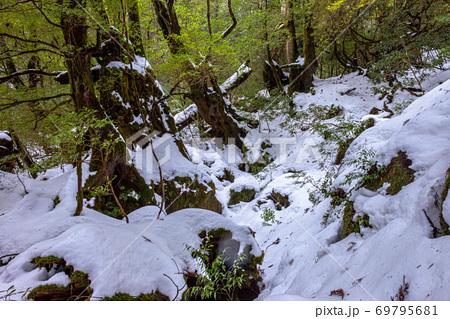 雪に映える屋久杉の森(1月)屋久島白谷雲水峡 69795681