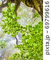 臥竜山の新緑と霧に霞む風景です。原生林の新緑です。清楚な雰囲気にどうぞ。 69799616