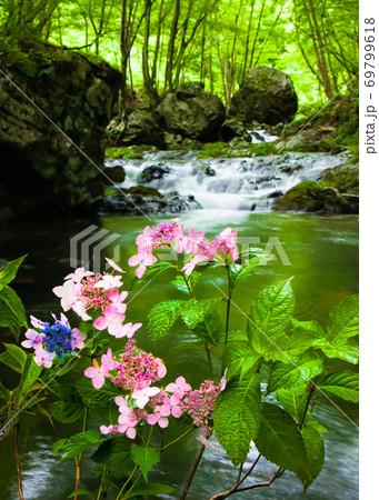 渓流に咲くアジサイの花です。雨に濡れています。 広島県 69799618
