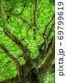 平和公園の新緑の大樹、クスノキの大木です。園内には被爆樹があります。 広島県 69799619