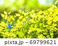 エノキの新緑風景です。若葉が明るく鮮やかに輝いています。下スペースにメッセージをどうぞ。広島県 69799621