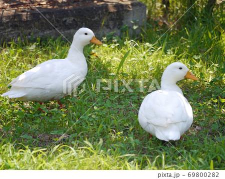 福知山市動物園内で散歩を楽しむ二羽のアヒル 69800282