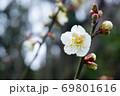 梅の花 69801616
