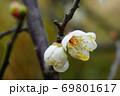 梅のつぼみ 69801617