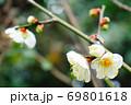 咲き誇る梅の花 69801618