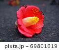 道路に落ちたヤブツバキの花 69801619