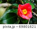 ヤブツバキと花粉 69801621