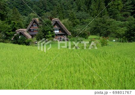 白川郷 合掌造りの家と稲穂が出始めた水田 69801767