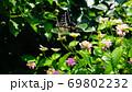 ランタナとアゲハ蝶 69802232
