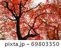 真っ赤になったモミジが空を覆っています。鮮烈な色合いです。 69803350