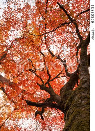 真っ赤になったモミジが空を覆っています。鮮烈な色合いです。 69803351
