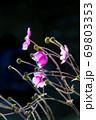 シュウメイギクの残り花風景です。晩秋の花畑です。広島県 69803353