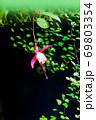 フクシアが一輪咲いています。とても清楚な雰囲気がします。 69803354