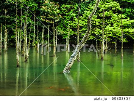 静かな湖面と樹林風景です。水面に緋鯉が見えます。山口県 69803357