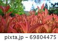 ベニカナメモチの赤い葉 69804475