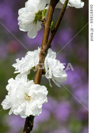 春の庭に咲く白いホウキモモ の花 69818840