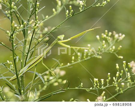 草にいるチョウセンカマキリ 69818908