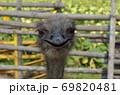 ダチョウの顔(正面) 69820481