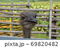 ダチョウの顔(斜め前) 69820482