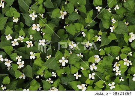 日蔭の庭で白い花を咲かせるドクダミの群生 69821864